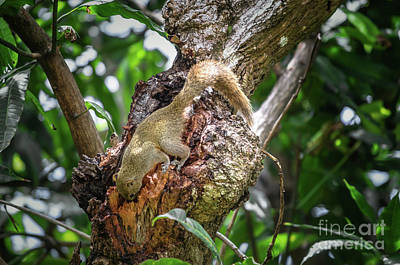 Photograph - Grey Bellied Squirrel by Michelle Meenawong