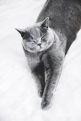 Photograph - Grey British Shorthair Cat Laying On A Bed by Michal Bednarek