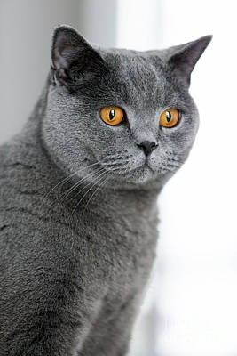 Photograph - Grey British Shorthair Cat Staring In The Space. by Michal Bednarek