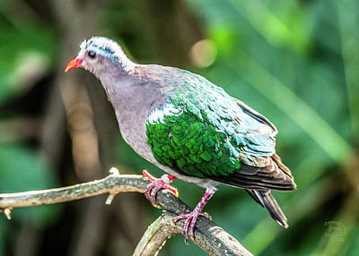 Photograph - Grey-capped Emerald Dove, by Daniel Hebard