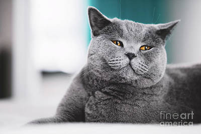 Photograph - Grey Cat Laying On A Bed. Funny Face by Michal Bednarek