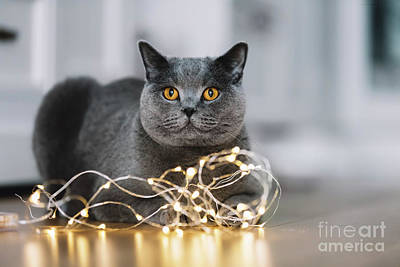 Photograph - Grey Cat Playing With A String Of Lights by Michal Bednarek