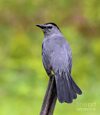 Art Print featuring the photograph Grey Catbird by Debbie Stahre