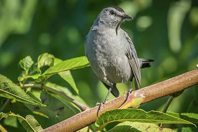 Photograph - Grey Catbird Img 1 by Bruce Pritchett