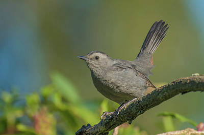Photograph - Grey Catbird Img 3 by Bruce Pritchett