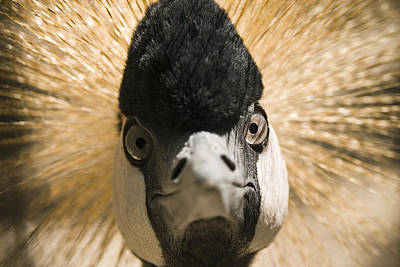 Face Photograph - Grey Crowned Crane by Chad Davis