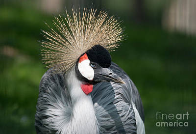 Photograph - Grey Crowned Crane by Pietro Ebner