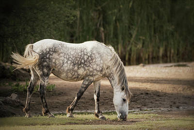 Photograph - Grey Dappled Stallion  by Saija Lehtonen