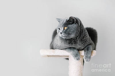 Photograph - Grey Furry Cat Laying On The Top Of The Scratcher by Michal Bednarek