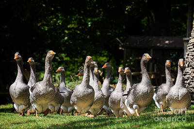 Photograph - Grey Geese At The Goose Farm by IPics Photography