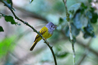 Moody Trees Rights Managed Images - Grey-headed Canary Flycatcher Royalty-Free Image by David Hohmann