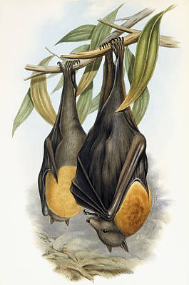 Bat Painting - Grey Headed Flying Fox, Pteropus Poliocephalus by John Gould
