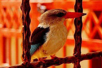 Photograph - Grey Headed Kingfisher 02 by Dora Hathazi Mendes