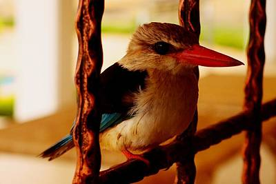 Photograph - Grey Headed Kingfisher 03 by Dora Hathazi Mendes