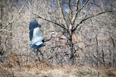 Photograph - Grey Heron #2 by Catherine Lau