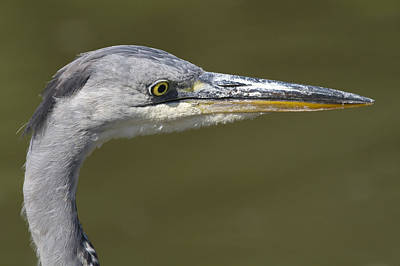 The Champagne Collection - Grey Heron  Ardea cinerea by Chris Smith
