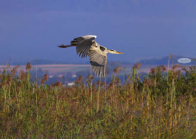 Photograph - Grey Heron, Ardea Cinerea, Flying Upon Reeds, Neuchatel, Switzer by Elenarts - Elena Duvernay photo