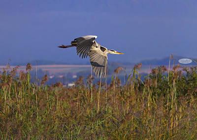 Photograph - Grey Heron, Ardea Cinerea, Flying Upon Reeds, Neuchatel, Switzer by Elenarts - Elena Duvernay photo