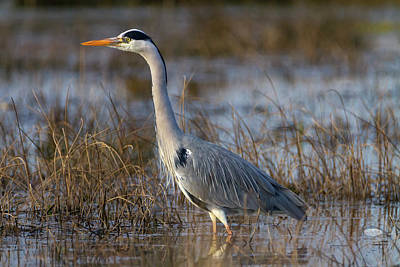 Photograph - Grey Heron, Ardea Cinerea, In A Pond by Elenarts - Elena Duvernay photo