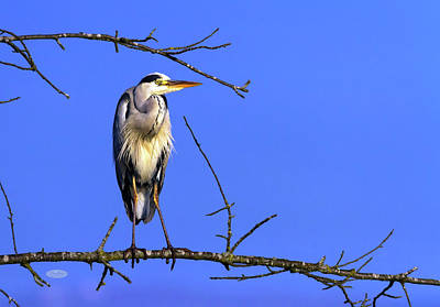 Photograph - Grey Heron, Ardea Cinerea, In A Tree, Neuchatel, Switzerland by Elenarts - Elena Duvernay photo