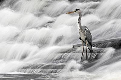Grey Heron Fishing In Annacotty Waterfall Ireland  Art Print