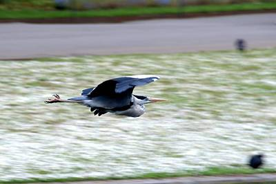 Photograph - Grey Heron In Flight by Chris Day