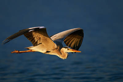 Royalty-Free and Rights-Managed Images - Grey heron in flight by Johan Swanepoel