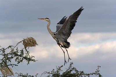 Grey Heron Photograph - Grey Heron by Johan Elzenga