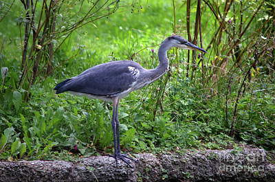 Photograph - Grey Heron by Michelle Meenawong