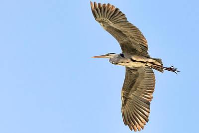 Photograph - Grey Heron  by Nadia Sanowar