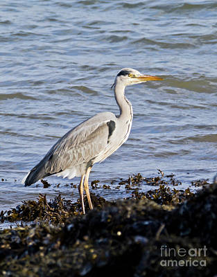 Photograph - Grey Heron by Terri Waters