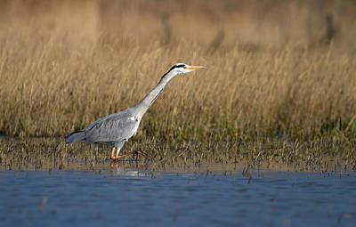 Photograph - Grey Heron Walking In Water by Elenarts - Elena Duvernay photo