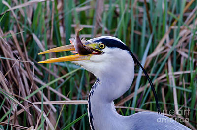 Photograph - Grey Heron With Fish by Steev Stamford