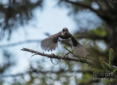 Photograph - Grey Jay Flying by Eva Lechner