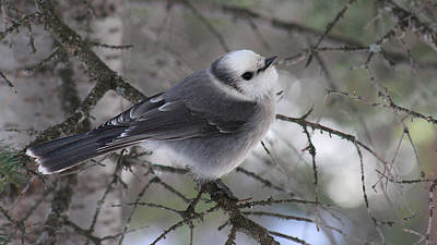 Photograph - Grey Jay by Thomas Samida