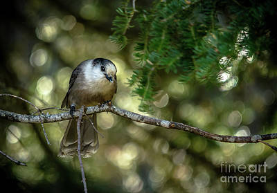 Photograph - Grey Jay Whisky Jack by Cheryl Baxter