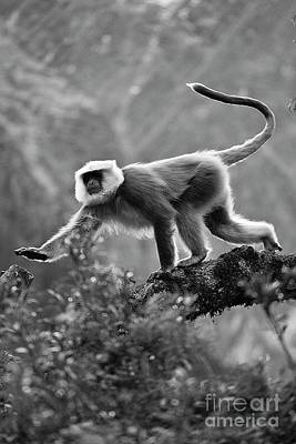 Photograph - Grey Langur - Nupri Nepal by Craig Lovell
