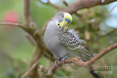 Photograph - Grey Male Budgerigar by Olga Hamilton