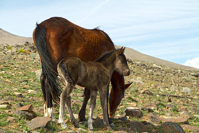 Photograph - Grey Mustang Foal And Bay Mare by Waterdancer