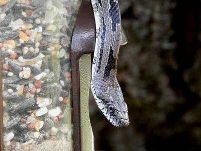 Photograph - Grey Oak Snake Snacking by Belinda Lee