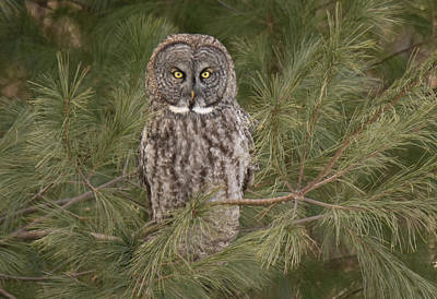 State Love Nancy Ingersoll - Grey Owl by Judd Nathan