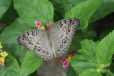 Photograph - Grey Pansy Butterfly #2 by Judy Whitton