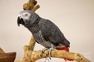 Photograph - Grey Parrot On A Stand by Jill Lang