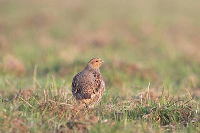 Photograph - Grey Partridge by Peter Walkden