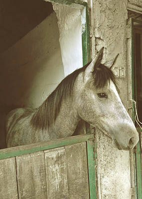 Photograph - Grey Piccolo Pony by JAMART Photography