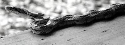 Photograph - Grey Rat Snake by Julie Pappas