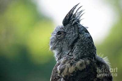 Photograph - Grey Screech Owl II Visit Www.angeliniphoto.com For More by Mary Angelini