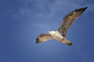 Gaviota Photograph - Grey Seagull by Hernan Bua