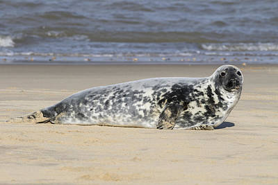 Royalty-Free and Rights-Managed Images - Grey seal - 10 by Chris Smith