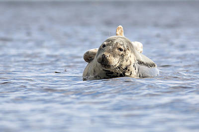 Photograph - Common Seal by Grant Glendinning